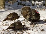 Adult Male Wild Turkey Displays to Females  Lexington  Massachusetts