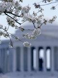 Closeup of Cherry Blossoms with Jefferson Memorial  Washington  DC