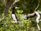 Brown Booby at a Mangrove Island Rookery  Belize