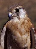 Australian Kestrel Head  Sharp Beak and Eye