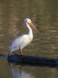 American White Pelican Perched on a Log