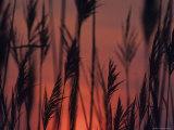 Closeup Silhouette of Grains against a Rising Sun