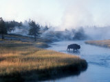 Bison Crosses the Firehole River Flowing Through Geyser Basins  Yellowstone