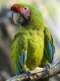 Buffon's Macaw from the Sedgwick County Zoo  Kansas