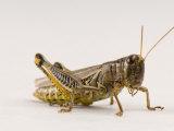 Adult Differential Grasshopper Found Spring Creek Prairie