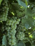 Chardonnay Grapes on the Vine  Washington