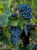 Close View of Chianti Grapes Growing on a Vine in Tuscany  Italy