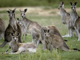 Alert Mob of Eastern Grey Kangaroos Standing and Lying Down  Australia