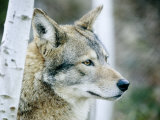 Closeup of a Captive Coyote  Massachusetts