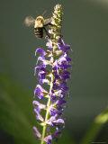 Bumblebee Hovers Around Purple Salvia Flowers  Elkhorn  Nebraska