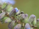 Ant Crawls on Blue Sage Flowers at Spring Creek Prairie