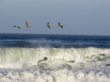 Four Brown Pelicans Flying above the Surf  California