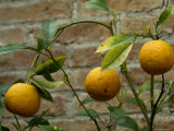 Close-Up of Lemons Growing on a Tree  Asolo  Italy