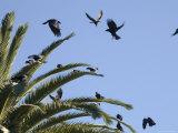American Crows Causing a Fuss in a Palm Tree  Santa Barbara  California