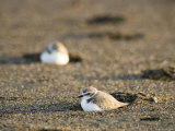 Endangered Western Snowy Plover on a Beach  California