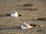 Endangered Western Snowy Plover on a Beach  California