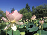 Emperor Lotus Flowers in Kenilworth Aquatic Gardens in Washington  DC