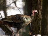 Close-Up of a Wild Turkey in the Woods  Lexington  Massachusetts