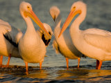 Group of American White Pelicans