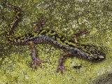 Arboreal Green Salamander Crawls Accross its Rocky Habitat