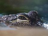Alligator Eyes in the National Aquarium  Washington  DC
