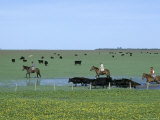 Argentine Gauchos Herd Cattle Through a Field Blooming with Spring Flowers