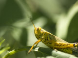 Grasshopper Sits on a Leaf in Lincoln  Nebraska