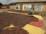 Awoman Bends to Spread Brown Cacao Beans on a Red-And- Yellow Tarp to Dry in the Sun