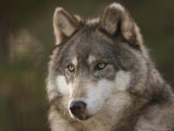 Gray Wolf at the Rolling Hills Wildlife Adventure