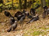 Gaggle of Wild Turkeys  Lexington  Massachusetts