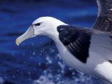 Head  Eye and Beak Detail of a Vulnerable Shy Albatross in Flight  Australia