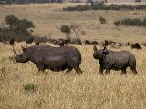 Endangered Black Rhinoceros with a Large Calf Cross the Savannah