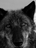 Grey Wolf Face Portrait in Black and White