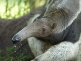 Giant Anteaters at the Sunset Zoo