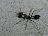 Huge Bull Dog Ant Marches Across a White Sand Dune Hunting Prey  Australia