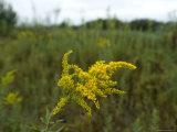 Goldenrod is the Nebraska State Flower