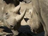 Eastern Black Rhinoceros from the Sedgwick County Zoo  Kansas