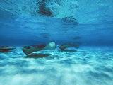 Grand Cayman  Stingray City Unerwater with Stingrays Dasyatis American