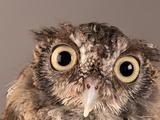 Eastern Screech Owl  Lincoln  Nebraska
