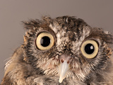 Eastern Screech Owl, Lincoln, Nebraska Papier Photo par Joel Sartore