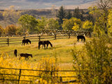 Horses Grazing in the Late Afternoon on the Home Ranch  Colorado