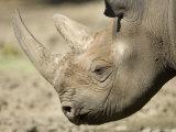 Eastern Black Rhinocerosfrom the Sedgwick County Zoo  Kansas