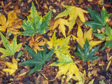 Fall Color Sycamore Leaves Mosaic in Santa Ynez  California