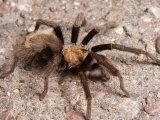 Desert Tarantula Spider Crawling Across a Road