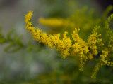 Goldenrod  The Nebraska State Flower