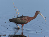 Glossy Ibis Wades for Food in a Salt Marsh