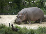 Hippo at the Toledo Zoo