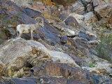 Portrait of a Desert Big Horn Sheep  California