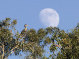 Cormorant in a Tree with a Moon Rising  Santa Barbara  California
