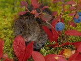 Red Backed Vole  Alaska